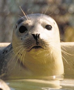 harbor_seal_face02