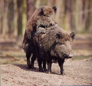 amorous-pigs