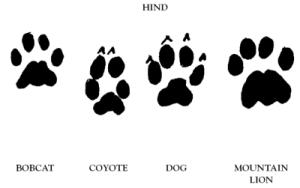 mountain-lion-tracks