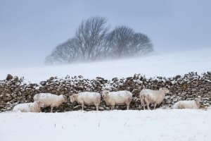 Sheep shelter from a blizzard behind a stone wall in the Peak District, England. Snow, sleet and rain have disrupted transport and power supplies as wintry weather continues in much of the UK