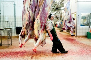 Danish cows get a final back rub from there butcher