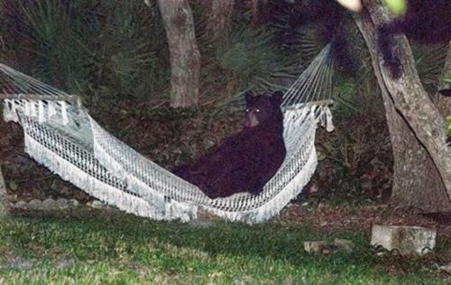 bear-hammock
