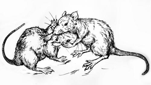 fighting rats
