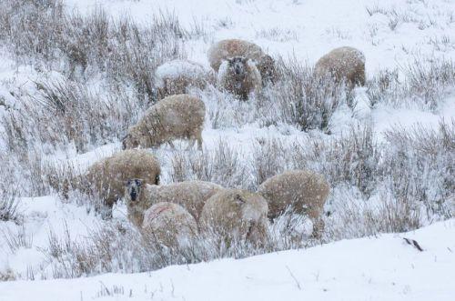 freak-blizzard-hits-welsh-sheep-farmers-at-lambing-time_1141548