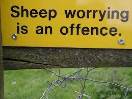 Sheep-Worrying1