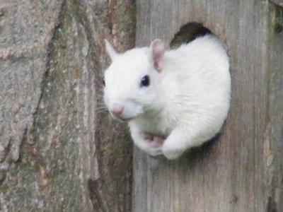 white-squirrel-21221438